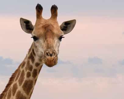 close up photography of giraffe